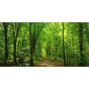 絵画風 壁紙ポスター  緑と黄葉のコントラスト 森林 パノラマ 森林浴 目の保養 癒し キャラクロ SNR-102S1 (1152mm×576mm)|real-inter