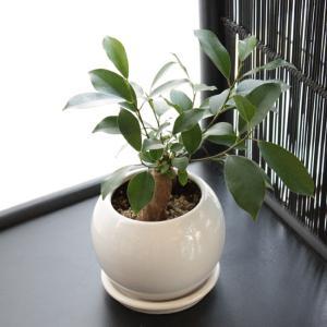 ガジュマルの木 観葉植物 送料無料 幸福をもたらす精霊が住む木 がじゅまる 誕生日プレゼント ギフト お祝い 贈り物 退職祝い 女性 母|reiri-kobe|02