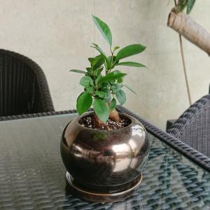 ガジュマルの木 観葉植物 送料無料 幸福をもたらす精霊が住む木 がじゅまる 誕生日プレゼント ギフト お祝い 贈り物 退職祝い 女性 母|reiri-kobe|04
