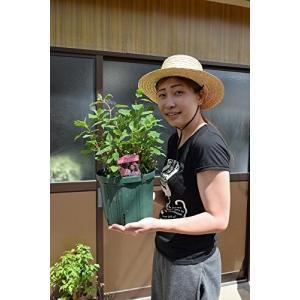 鉢サイズ 7号 幅21センチ 高さ 19センチ  アナベルピンク開花は6月頃です 庭植えでも、大きな...
