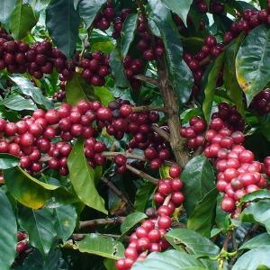 コーヒー豆 送料無料 コスタリカ 250g まとめ割 タラス地区 ガンボア農園 シティロースト 珈琲豆|rencacoffee
