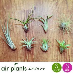 選べる3種 エアプランツ 観葉植物 Sサ...