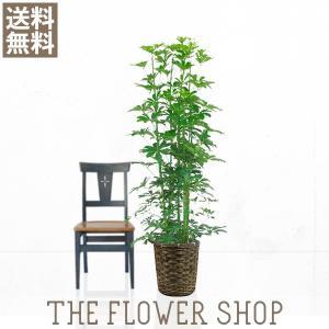 観葉植物 おしゃれ ホンコンカポック 高さ:約150〜170cm 籐カゴ|ricochet-petit