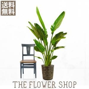 観葉植物 おしゃれ オーガスタ 高さ:約150〜170cm 籐カゴ|ricochet-petit