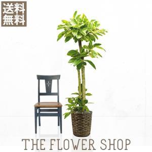 観葉植物 おしゃれ アルテシマゴム 高さ:約150〜170cm 籐カゴ|ricochet-petit