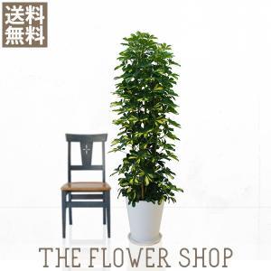 観葉植物 おしゃれ 斑入りホンコンカポック 高さ:約150〜170cm 陶器鉢|ricochet-petit