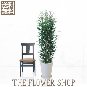 観葉植物 おしゃれ シルクジャスミン 高さ:約150〜170cm 陶器鉢|ricochet-petit