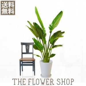 観葉植物 おしゃれ オーガスタ 高さ:約150〜170cm 陶器鉢|ricochet-petit