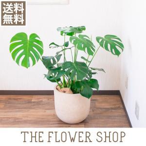 観葉植物 おしゃれ モンステラ 高さ:約70〜90cm [プラ鉢]|ricochet-petit