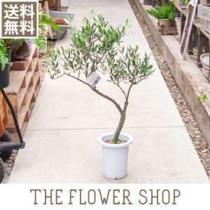 観葉植物 シンボルツリー おしゃれ 創樹のオリーブ 7号 80〜100cm|ricochet-petit