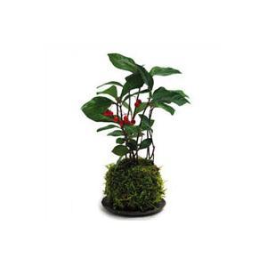 苔玉 ヤブコウジ 天然ハイゴケ 大玉 観葉植物 盆栽|rocca-clann