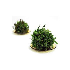 苔玉 豆づた2個セット 吊り苔玉 マメヅタ 観葉植物|rocca-clann