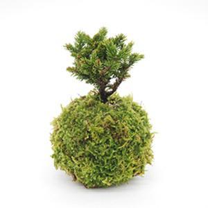 苔玉 蝦夷松 天然ハイゴケ 小玉 観葉植物 盆栽|rocca-clann