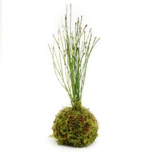 苔玉 姫トクサ 天然ハイゴケ 小玉 観葉植物 盆栽|rocca-clann