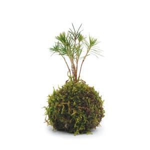 苔玉 黒松 天然ハイゴケ 小玉 観葉植物 盆栽|rocca-clann