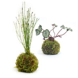 苔玉 苔玉の2個セット 天然ハイゴケ 小玉 観葉植物 盆栽|rocca-clann
