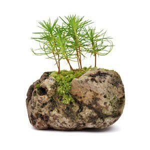 苔玉  黒松 石付き 観葉植物 盆栽|rocca-clann