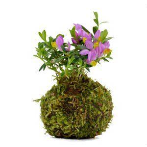 苔玉  トキワ 姫萩 観葉植物 盆栽|rocca-clann