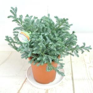 コニファー ブルーバード 4号鉢 針葉樹 寄せ植え シンボルツリー|rose-factory