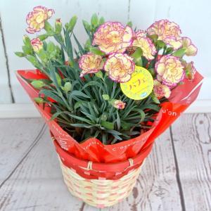 母の日 カーネーション【パフェ】5号鉢 ■送料無料■ 底面給水鉢 かご付き Mother's Day...