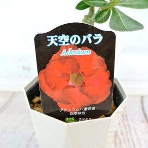アデニウム 天空のバラ 八重咲き【トリプルレッド】4号鉢 暑さに強い 希少品種|rose-factory