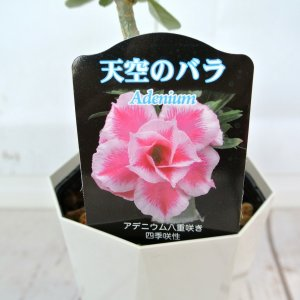 アデニウム 天空のバラ 八重咲き【クリスマス・サンタクロース】4号鉢 暑さに強い 希少品種|rose-factory