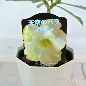アデニウム 天空のバラ 八重咲き【ピュアイエロー】4号鉢 暑さに強い 希少品種|rose-factory