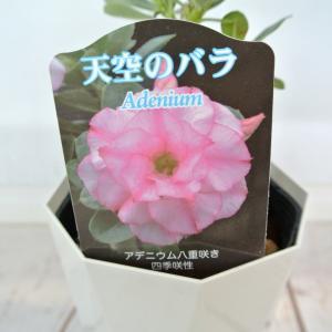 アデニウム 天空のバラ 八重咲き【トリプル・ハッサディ】4号鉢 暑さに強い 希少品種|rose-factory