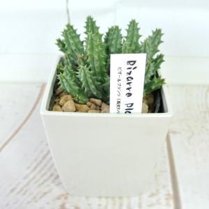 ビザールプランツ 珍奇な植物 フェルニア ヒストリクス 3.5号鉢 Huernia hystrix|rose-factory