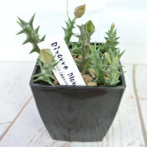 ビザールプランツ 珍奇な植物 デュメリィ 3.5号鉢 Orbea dummeri|rose-factory