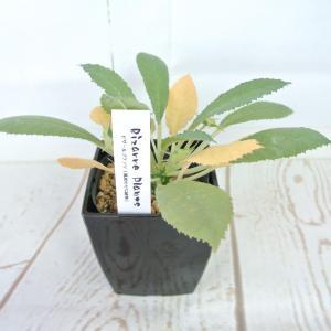ビザールプランツ 珍奇な植物 ドルステニア フォエチダ 3.5号鉢 Dorstenia foetida|rose-factory