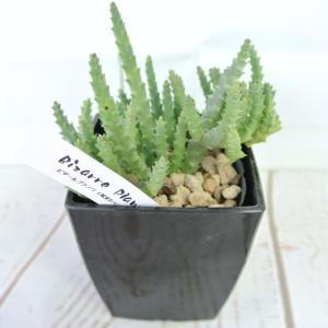 ビザールプランツ 珍奇な植物 オルベア バリエガータ 3.5号鉢 Orbea Variegata|rose-factory