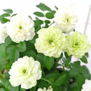 ミニバラ グリーンアイス 3.5号ポット苗 四季咲き 白から淡いグリーンにかわるバラ 大人気品種|rose-factory