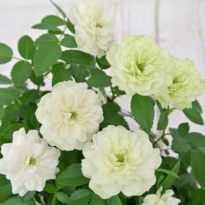ミニバラ グリーンアイス 3.5号ポット苗 四季咲き 白から淡いグリーンにかわるバラ 大人気品種|rose-factory|02