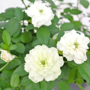 ミニバラ グリーンアイス 3.5号ポット苗 四季咲き 白から淡いグリーンにかわるバラ 大人気品種|rose-factory|03