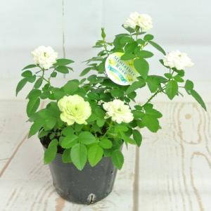 ミニバラ グリーンアイス 3.5号ポット苗 四季咲き 白から淡いグリーンにかわるバラ 大人気品種|rose-factory|04