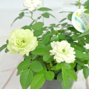 ミニバラ グリーンアイス 3.5号ポット苗 四季咲き 白から淡いグリーンにかわるバラ 大人気品種|rose-factory|05