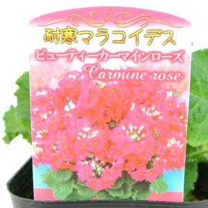 プリムラマラコイデス ビューティーカーマインローズ 耐寒性 サクラソウ 桜草 プリムラ 3号ポット苗|rose-factory