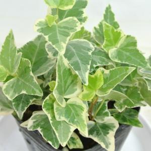アイビー ヘデラ ホワイトワンダー 3号ポット苗 寒さ・暑さに強い 丈夫 つる性 寄せ植え 観葉植物|rose-factory