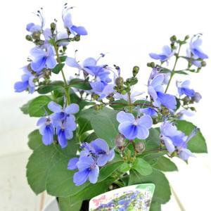 クレロデンドルム ブルーウィング 3号ポット苗 ブルーバタフライブッシュ ブルーウイング 青い蝶 ロテカ|rose-factory