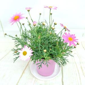 マーガレット スラッシュピンク 4号鉢 白からピンクに色が変わる 春のお花|rose-factory