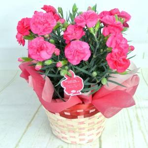 母の日 カーネーション【マカロンフレーズ】5号鉢 ■送料無料■ 底面給水鉢 かご付き Mother's Day|rose-factory