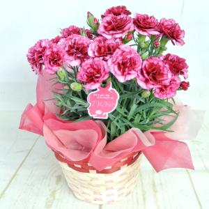 母の日 カーネーション【プラムタルト】5号鉢 ■送料無料■ 底面給水鉢 かご付き Mother's Day|rose-factory