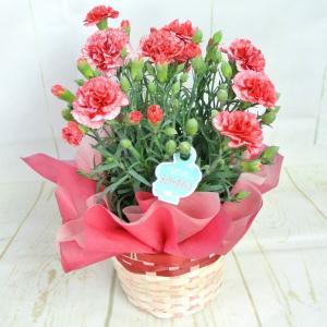 母の日 カーネーション【チェリーホイップ】5号鉢 ■送料無料■ 底面給水鉢 かご付き Mother's Day|rose-factory