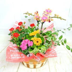 寄せかご(胡蝶蘭入り)寄せ鉢 寄せ植え ギフト 送料無料 ボリュームがすごい! 豪華 お誕生日 お祝 rose-factory