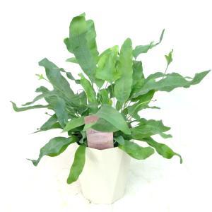 フレボディウム アウレウム ブルースター 4号鉢 観葉植物 おしゃれ インテリア 大人気 育てやすい 希少品種|rose-factory