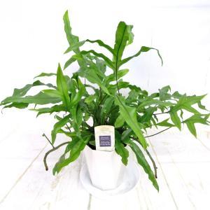 ミクロソリウム ディベルシフォリウム 4号鉢 観葉植物 おしゃれ インテリア 大人気 育てやすい 日陰に強い|rose-factory