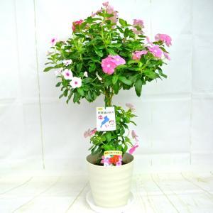 日々草 3色植え スタンド仕立て 6号鉢 ボリュームがいい 豪華仕立て ニチニチソウ ビンカ コーラ 送料無料 ギフト|rose-factory