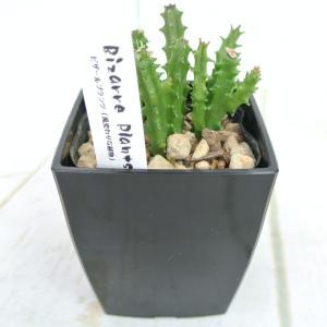 ビザールプランツ 珍奇な植物 カラルマ クレヌラータ クレヌラタ 3.5号鉢 Caralluma crenulata 多肉植物|rose-factory