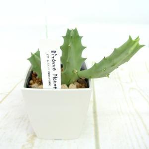 ビザールプランツ 珍奇な植物 メラナンサ 3.5号鉢 Caralluma melanantha 多肉植物|rose-factory